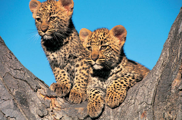 Londolozi Game Reserve leopard cubs.