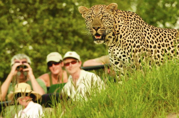 up close encounter with leopard in Sabi Sands Game Reserve.