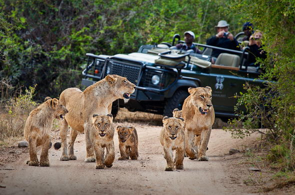 Spot lions and other wildlife on guided game drives.